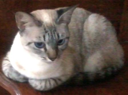 gato - veterinario - veterinaria